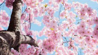 桜のようなひと、浅田真央