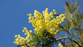 ホワイトデーの代わりにステキな記念日を。3月8日は『ミモザの日』。