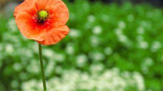 名前は『ナガミヒナゲシ』|道端に咲く可愛らしいオレンジ色の花の実態